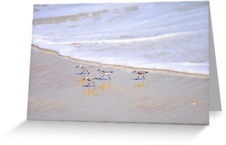 Baby Sanderlings by Karl F Davis