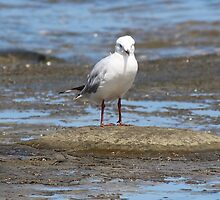 Seagull with Attitude by PetaStreet
