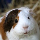 The Guinea Pig by Sprinkla