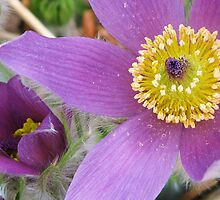 Easter Flower (Pasque Flower) by lorilee