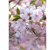 First Spring Blossoms Photographic Print