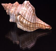 Sea shell by franceslewis