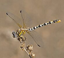 Erpetogomphus compositus (White-belted Ringtail) by Jim Johnson