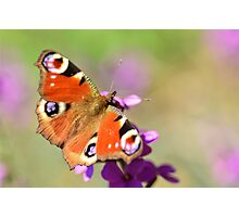 Majestic Visitor - Butterfly Photographic Print