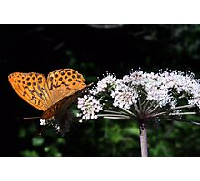 orange butterfly on white flower Photographic Print