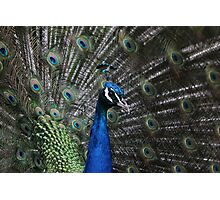 Indian Blue Peacock Photographic Print