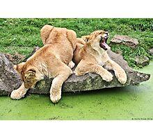 Lion Cubs Photographic Print