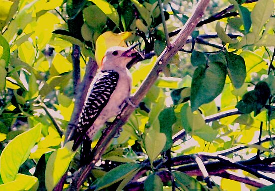 Woodpecker in my orange tree by ♥⊱ B. Randi Bailey