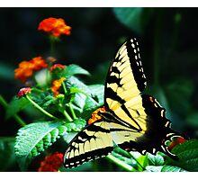 Swallowtail Photographic Print