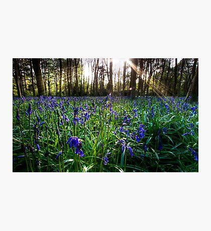 Badbury Hill Bluebells Photographic Print