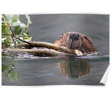 Beaver and Reflection Poster