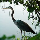 Great Blue Heron by Lindsay Dean