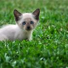 Siamese Kitten by Kevin Means