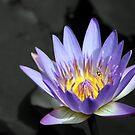 Water Lily by Teresa Zieba