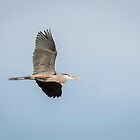 Great Blue Heron In Flight 2015-1 by Thomas Young