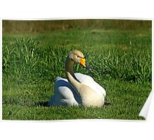 Whooper Swan sitting on grass Poster