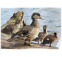 Ducks in spring Poster
