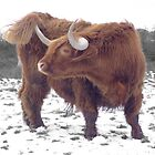 Highland cattle in snow by Julie Short