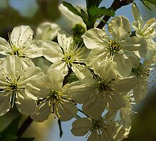 Sour Cherry Blossoms by Béla Török