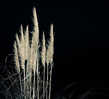 Pampas flowers and leaves isolated on black. by brians101