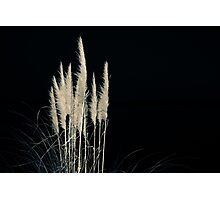 Pampas flowers and leaves isolated on black. Photographic Print
