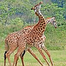 Sparring Giraffes, Arusha National Park, Tanzania, Africa by Adrian Paul