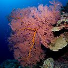 Gorgonian by Dean Eldrid