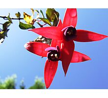 Fuschias from below Photographic Print