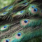 Peacock eyes by Gail Falcon