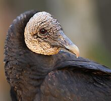 Black Vulture Portrait by William C. Gladish