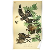 James Audubon Vector Rebuild - The Birds of America - From Drawings Made in the United States and Their Territories V 1-7 1840 - Night Hawk Poster