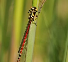 First Damselfly by Robert Abraham