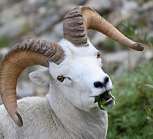 Ram Portrait by William C. Gladish