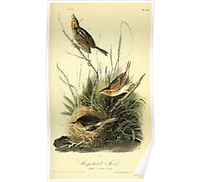 James Audubon Vector Rebuild - The Birds of America - From Drawings Made in the United States and Their Territories V 1-7 1840 - Sharp Tailed Finch Poster
