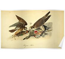 James Audubon Vector Rebuild - The Birds of America - From Drawings Made in the United States and Their Territories V 1-7 1840 - Perigrine Falcon Poster