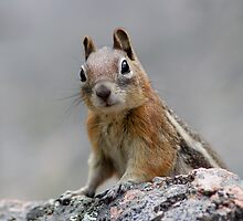 Ground Squirrel on Stage by William C. Gladish