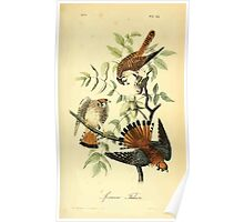 James Audubon Vector Rebuild - The Birds of America - From Drawings Made in the United States and Their Territories V 1-7 1840 - Sparrow Falcon Poster