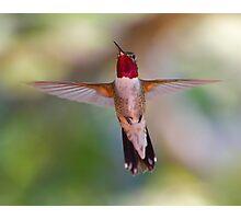 Broad-tailed Hummingbird in Flight Photographic Print
