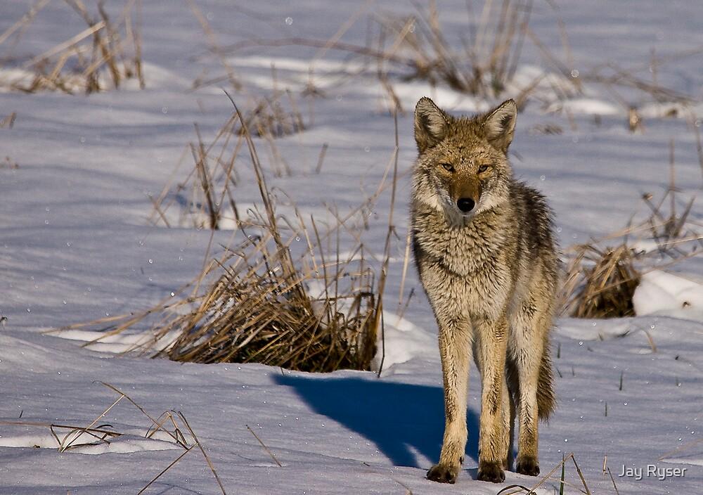 Snowy Coyote by Jay Ryser