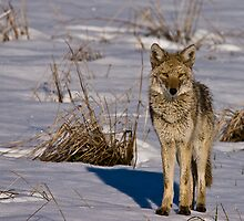 Snowy Coyote by Jay Ryser