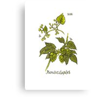 Humulus Lupulus - Hops Canvas Print