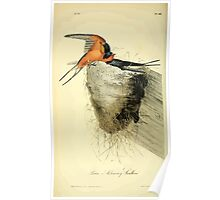 James Audubon Vector Rebuild - The Birds of America - From Drawings Made in the United States and Their Territories V 1-7 1840 - Barn or Chimney Swallow Poster