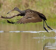 Limpkin Takeoff by William C. Gladish
