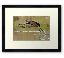 Limpkin Takeoff Framed Print