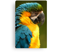 Macaw with Ruffled Feathers Canvas Print