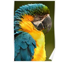 Macaw with Ruffled Feathers Poster