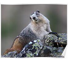 Alaska Marmot Portrait Poster
