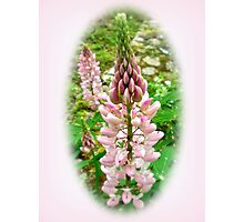 Pink Lupin Flowers Photographic Print