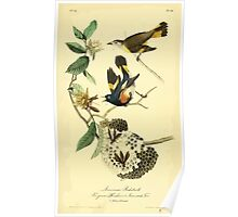 James Audubon Vector Rebuild - The Birds of America - From Drawings Made in the United States and Their Territories V 1-7 1840 - American Redstart Poster