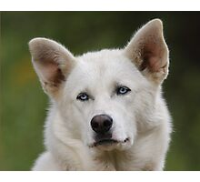 Working Dog Portrait Photographic Print